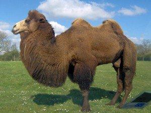 Chameau... dans La quatrieme dimension chameau-300x225